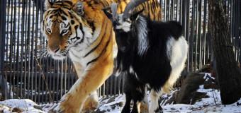 Тигр Амур напал на козла Тимура, последние новости (видео)