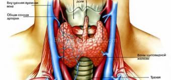 Постоянная сонливость. Лечение щитовидной железы
